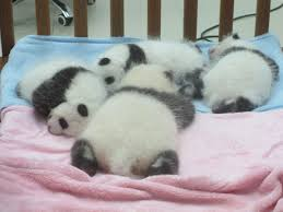 file baby pandas jpg wikimedia commons