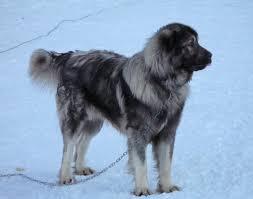 american eskimo dog short hair caucasian ovcharka short hair google search novifactatec