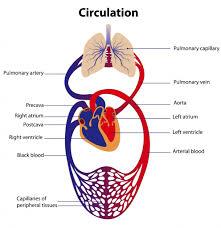 fish circulatory system diagram human anatomy library
