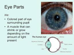 Anatomy Of Human Eye Ppt Eye Anatomy Human Eye Ball Is About 1 Inch In Diameter Ppt Download