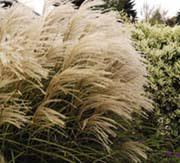 growing ornamental grass veseys