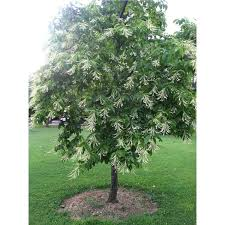 american hornbeam tree potted 3 pack growers solution
