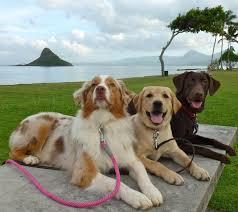 australian shepherd or golden retriever balanced obedience dog and puppy training on oahu hawaii
