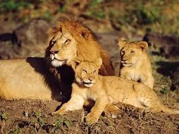imagenes de leones salvajes gratis fotos de leones