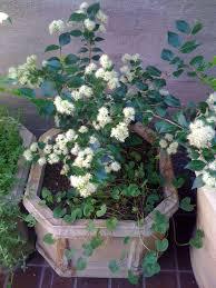 australian native shade plants cinnamon myrtle backhousia myrtifolia