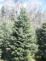 triple t nursery u2013 nursery stock u2013 christmas trees potted nursery