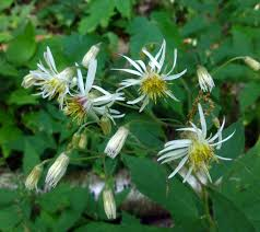 native plant solutions native clematis new hampshire garden solutions