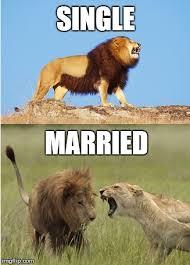 Lion Meme - meme 24 all the single lions i m bringing celibacy back