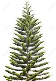 norfolk island pine araucaria heterophylla isolated on white