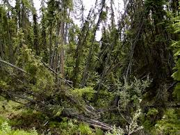 Alaska Forest images Image of the day a 39 drunken forest 39 in alaska climate central jpg
