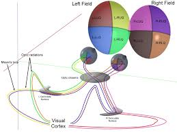 up the visual system requires precise temporal control of axon