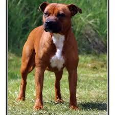 american pit bull terrier zucht blazen staff u0027s staffordshire bullterrier zucht deutschland