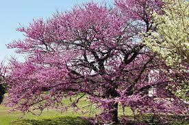redbud native plant nursery amazon com eastern redbud tree live plant shipped 2 to 3