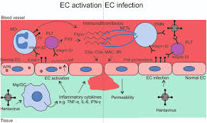 frontiers the fundamental role of endothelial cells in
