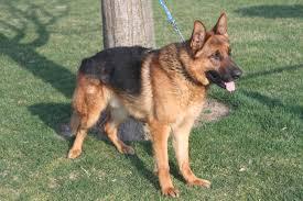 belgian sheepdog breeders pa german shepherd females for sale in honeybrook pennsylvania http
