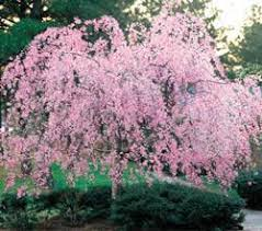 best 25 cherry tree ideas only on weeping