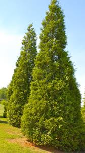 thuja green evergreen privacy trees
