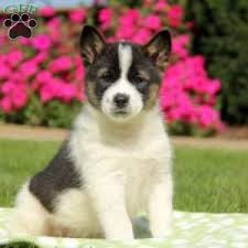american eskimo dog breeders new york american eskimo mix puppies for sale greenfield puppies