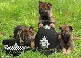 south australian german shepherd breeders german shepherd pups set to be the next generation of canine crime