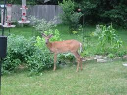 make your lawn unattractive to deer this deer repellent packs