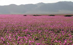 chile u0027s atacama desert is once again covered in wildflower blooms