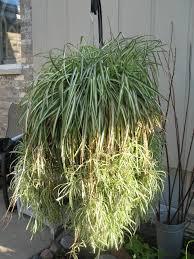 spider plant indoor plants pinterest