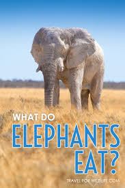 what do elephants eat fascinating facts and videos animal answers