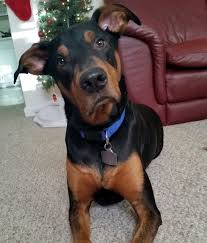 australian shepherd water 10 awesome doberman mixes you need to feast your eyes on