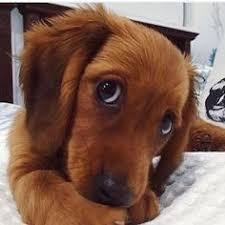 Puppy Dog Eyes Meme - who can resist sad puppy dog eyes cute stuff pinterest