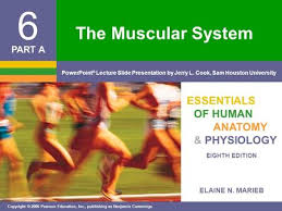 Anatomy And Physiology The Muscular System The Muscular System Essentials Of Human Anatomy U0026 Physiology Ppt