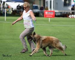 belgian shepherd qld marvel mirribandi belgian shepherd dogs