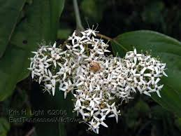 seneca snakeroot spring wildflowers woodland white and cream colored