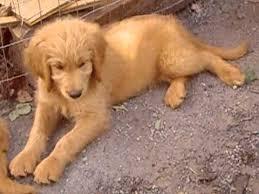goldendoodle puppy virginia goldendoodle puppies for adoption june 2013 in virginia near