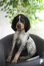bluetick coonhound cost redbone coonhound this looks like my sweet cider sue when she