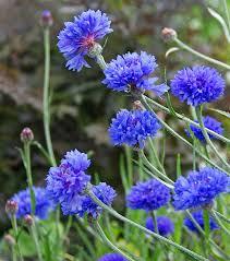 bachelor buttons centaurea cyanus blue diadem bachelor s buttons buy online