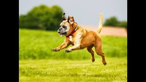 boxer dog health questions 10 fascinating boxer dog facts animal facts youtube