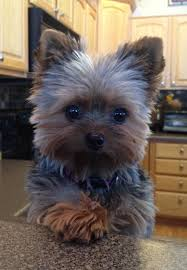 pictures of puppy haircuts for yorkie dogs cute yorkshire terrier 16 reasons they re not so friendly cute
