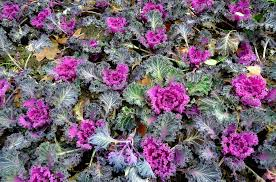 free photo ornamental cabbage kale flowers free image on