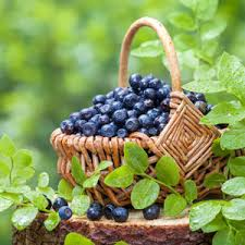 Fruit Garden Ideas All About Growing Blueberries Garden Club