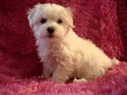 bichon frise breeders in pa teacup toy maltese maltipoo morkie yorkie poodle pom puppies for