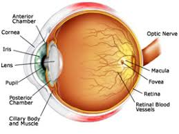 Anatomy Of The Eye Priyamvada Birla Aravind Eye Hospital