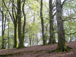 the tuesday tree beech woods in springtime beastie