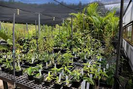 native hawaiian plant nursery inside the hawaiian seed bank figuring out how to store the rarest