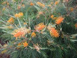 australian native plants brisbane grevillea google search plants identification pinterest