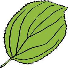 free vector graphic apple leaf green serrate free image on