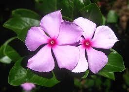 Vinca Flower Information - plants u0026 flowers vinca rosea