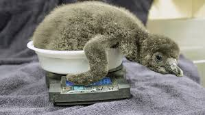this out 2 baby penguins born at jacksonville zoo