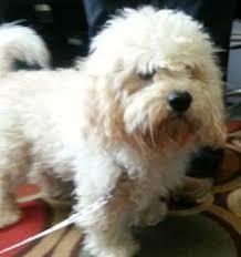4 year old bichon frise meet cuddles a petfinder adoptable bichon frise dog potomac md
