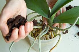 moth orchid phalaenopsis moth orchid rhs gardening