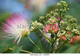 fluffy tree blooms stock photos fluffy tree blooms stock images